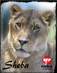 Color Photo of Sheba the Lion-Adult Clothing