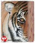 Pastel Drawing PAWS Tiger-Adult Clothing