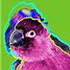 Nanday Conure Parrot Gifts