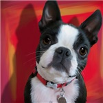 Ruthie the Boston Terrier