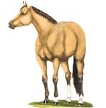 Tate, Buckskin Stallion