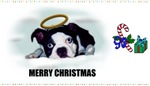MERRY CHRISTMAS BOSTON TERRIER (A MUST SEE!)