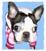 BOSTON TERRIER PAINTED LOOK