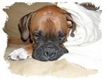 BOXER IN A BLANKET