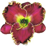 Purple w/ Gold Edge Daylily