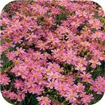 Coreopsis Rose