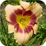 Pirates Patch Daylily