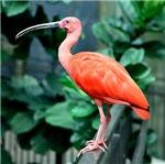 Stunning Scarlet Ibis