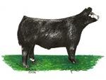 Baldie Show Steer