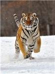 Siberian Tiger (photo)