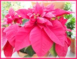 Pionsettia! Flower photo