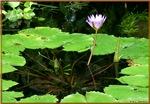 Waterlily, photo