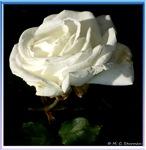 Rose, white rose photo