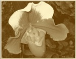 Orchid! Sepia print!