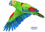 Flying Blue-fronted Amazon