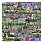 Lilacs at Highland #46