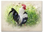 Old English Bantam Game Rooster