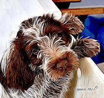 Wirehaired Pointing Griffo -Puppy
