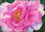 Drawing of Pink Peony