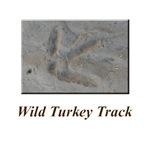 Wild Turkey Track