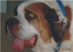 Saint Bernard tongue watercolor