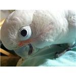 Goffin's Cockatoo 2