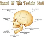 Bones of the Female Skull | Weird Phsyiology T-shirts , Gifts for Horny Med Students