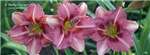 Some daylilies with your coffee?