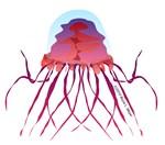 Crossota Deep Sea Jellyfish 2