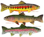 3 Western North America Trout