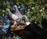 ROOF-TOP PIGEONS