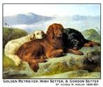 GOLDEN RETRIEVER, IRISH SETTER & GORDON SETTER II