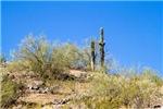 Saguaros And A Palo Verde Tree