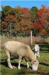 Fall Ewe with Lamb