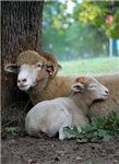 Serenity Ewe and Lamb