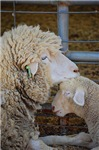Stomper and Lamb