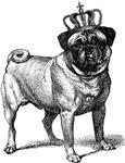 Vintage Fawn Pug Illustration