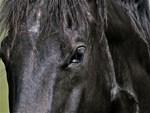 Horses: Black Stallion