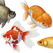 Fishes - Goldfish
