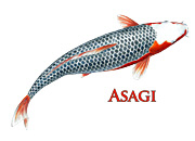Asagi Koi