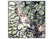 Lichens III