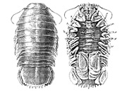 Giant Deep-sea Isopod