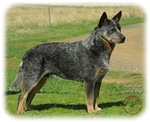 Australian Cattle Dog 9F060D-06