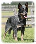 Australian Cattle Dog 9Y749D-017