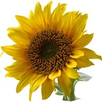 UPDATED: Sunflower