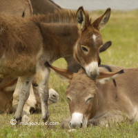 Donkeys - Burros