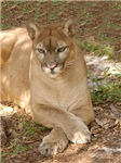 Cougar Long-Sleeved Shirts & Hoodies