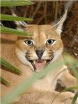Caracal Lynx Caps & Intimate Apparel
