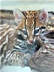 Ocelot Cub / Kitten