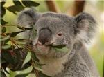 Koala Bear 5